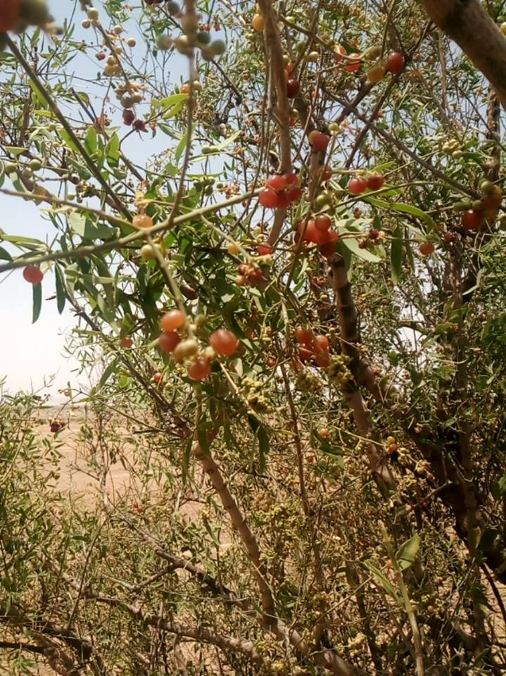 Wild grapes ripening