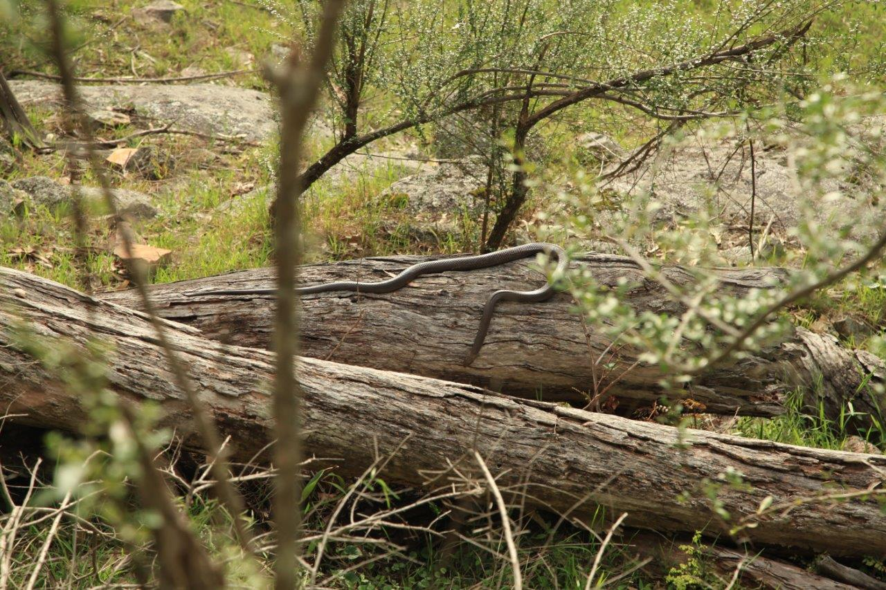 Living on the wild side - When you get past the initial fright, snakes are quite an incredible creature to encounter in the bush.
