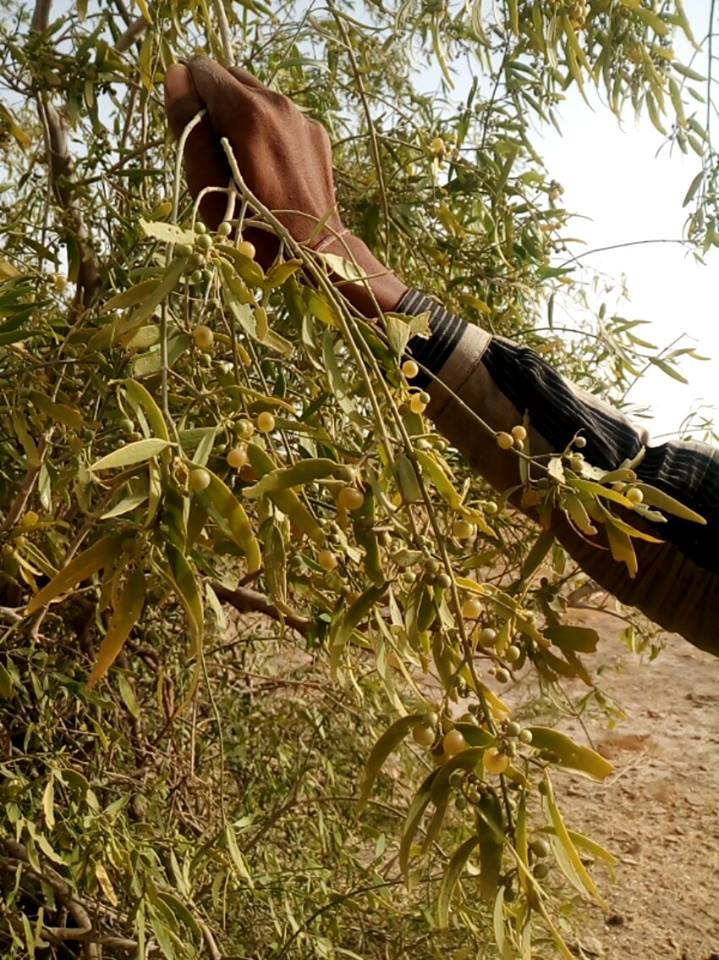 Wild grapes in the Thar Desert