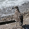 Juvenile Black-backed gull