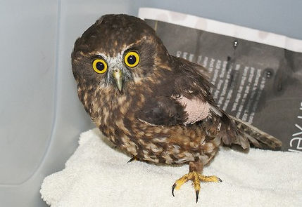 Morepork with a fractured wing