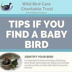 Tips if you find a baby bird.jpg