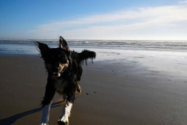 Bear running on the Beach