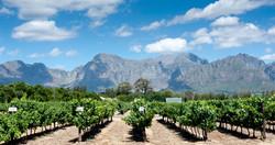Vineyard in mountains.jpg