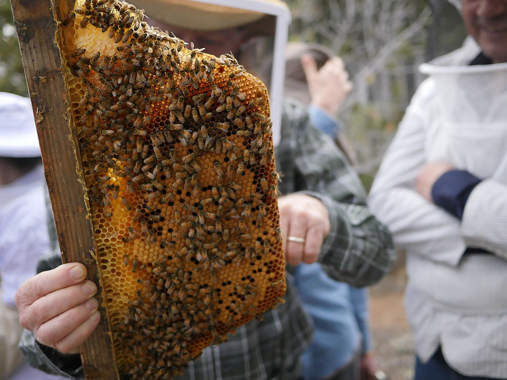 collecting the honey from the honeycomb