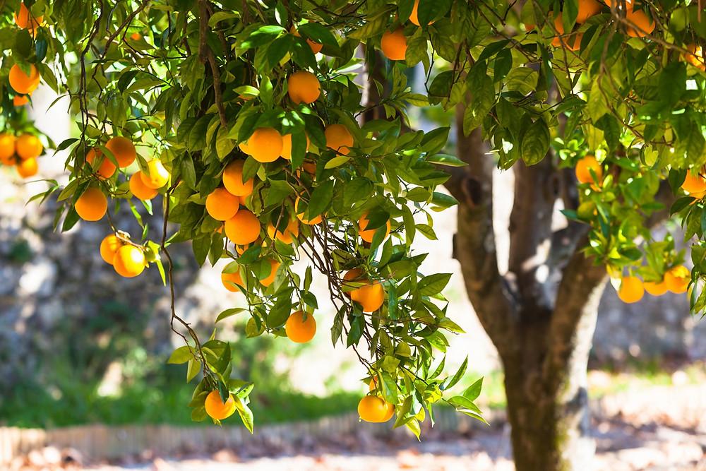 orange tree at botanical park in crete