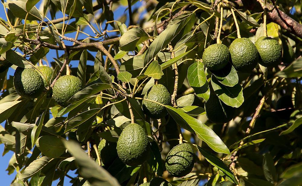 avocado tree with fruits