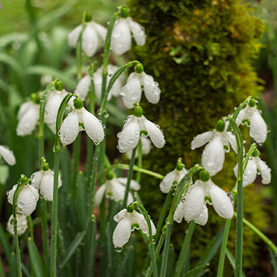 Snowdrops after the Rainfall