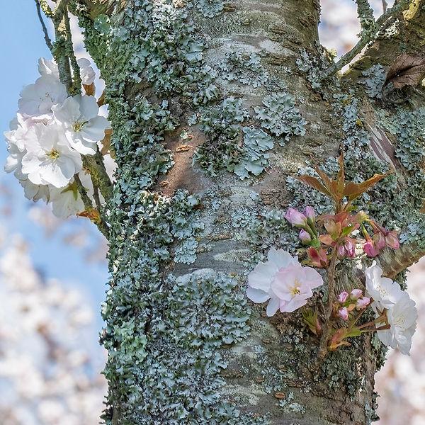 Blossom on Tree trunk