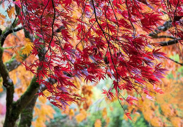 The Garden House - Acer Tree