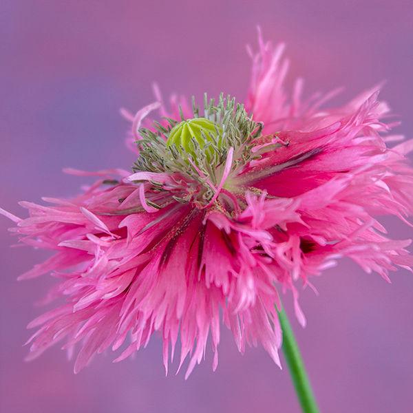 Poppy Pink Fizz