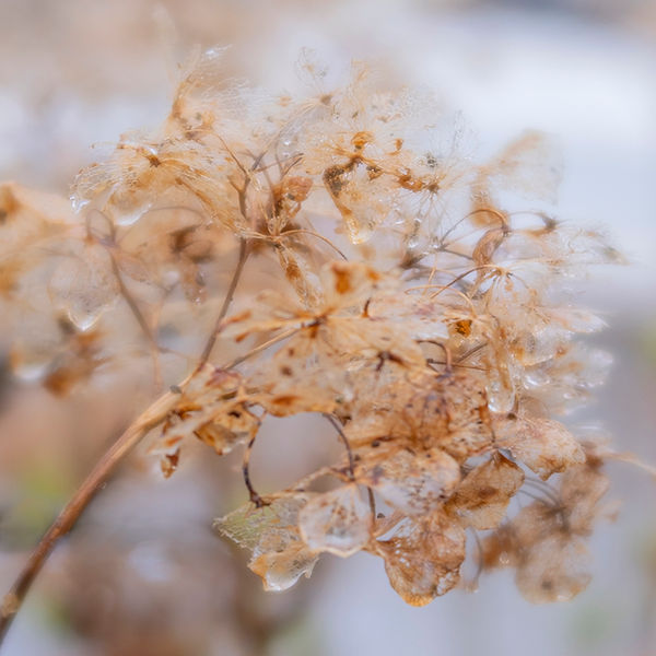 Hydrangea Seedheads.jpg