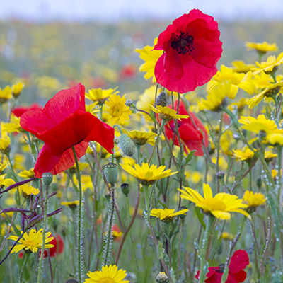 Poppies and Marigolds.jpg