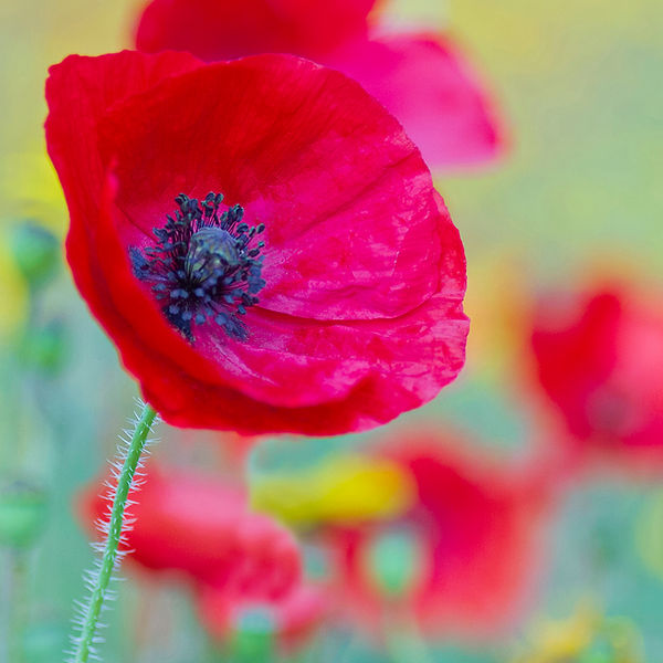 Poppy in the Meadow