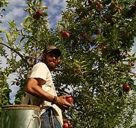 Neil picking apples.jpg