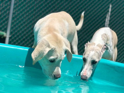 Dogs drinking water at day care