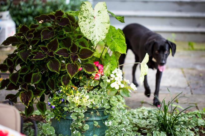 bright blooming ivy and plants container