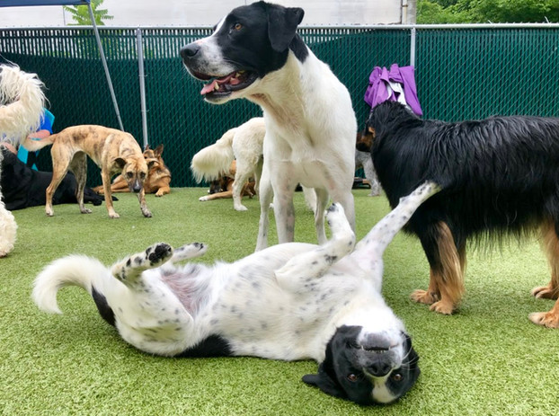 Dogs making friends at Bethlehem doggy daycare