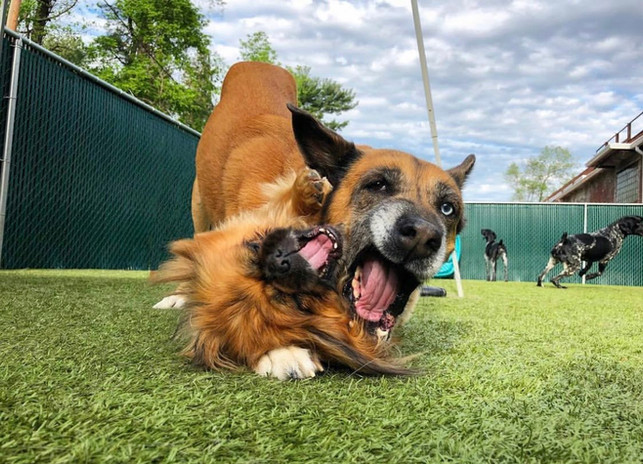 Dogs being goofy at doggy day care