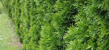 Lehigh-Single-hedges.png