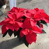 CHRISTMAS-POINSETTIAS.jpg