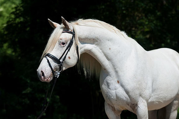 Carlsson vom Dach, few spot stallion