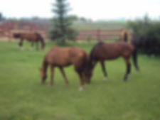 mares grazing