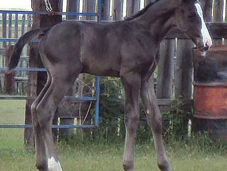 A colt is born.