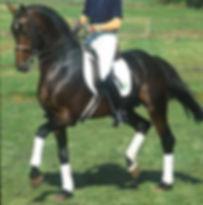 Regazzoni, hanoverian stallion