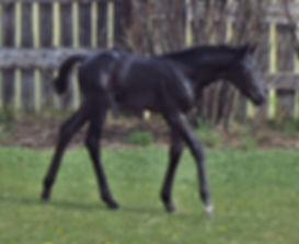 Florentyna MSH, 2014 hanoverian filly
