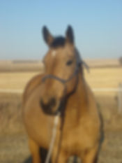 Nicole, imported Swedish warmblood mare