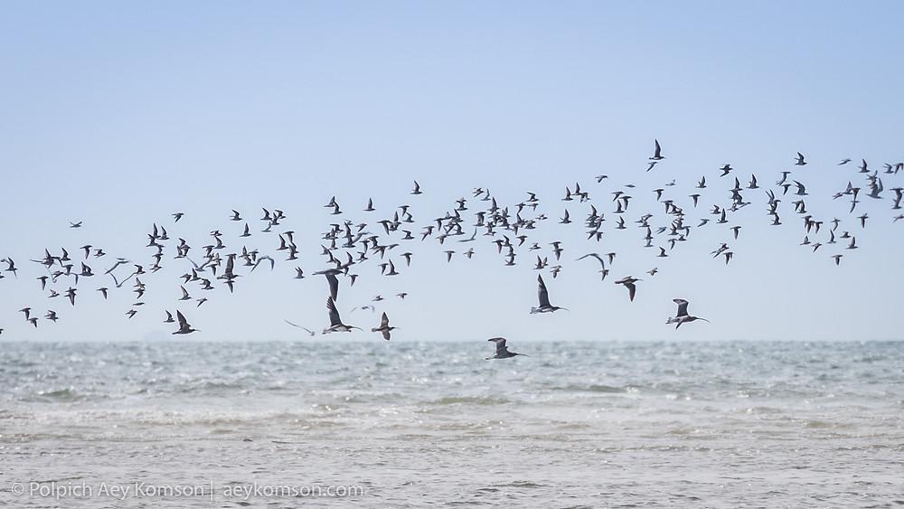 นกชายเลนอพยพหลายพันธุ์คละรวมกันเป็นฝูงเหล่านี้มีส่วนช่วยในการกระจายพันธุ์ของเมล็ดหญ้าทะเล