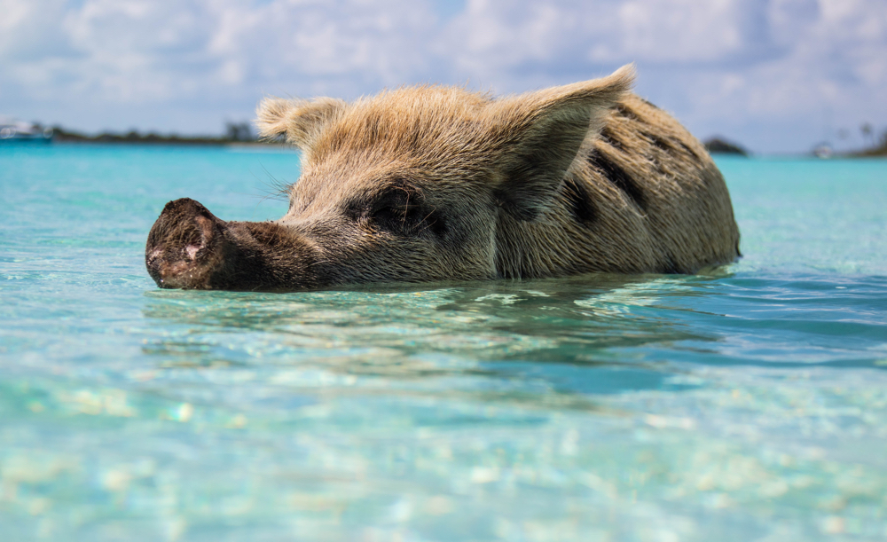 Swim with the pigs in Exuma, Bahamas