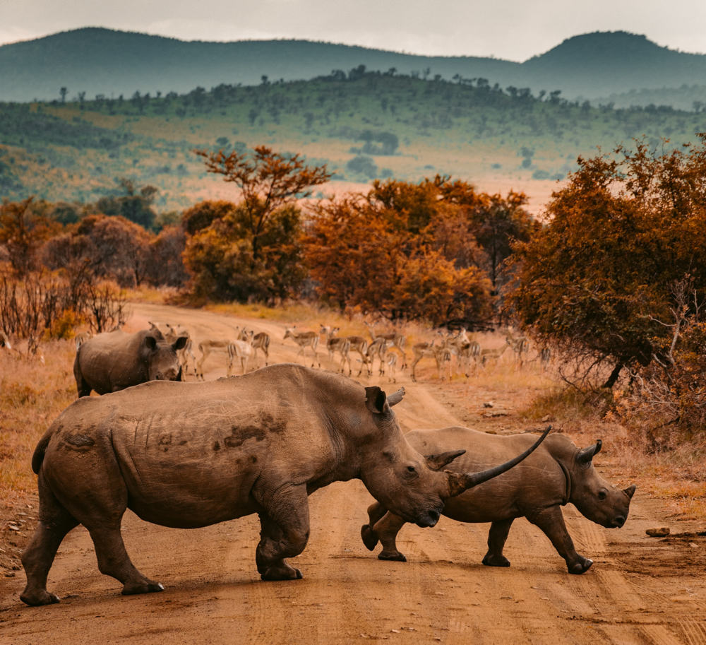 Africa Trip Planner | GeoLuxe Travel LLC | rhinos crossing a road