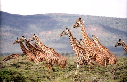 Africa Trip Planner | GeoLuxe Travel LLC | group of giraffes