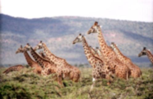 GeoLuxe Travel, LLC Africa travel photos - giraffe herd
