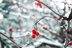 Gefrorene Kirschblüten