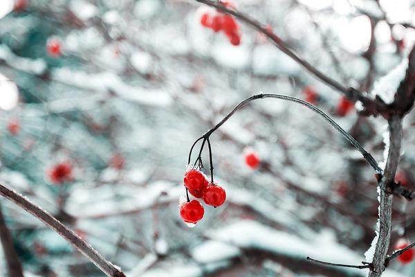 Fleurs de cerisier congelées