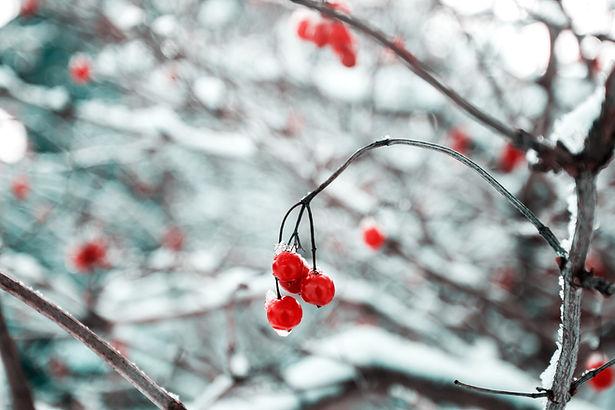 Frozen Cherry Blossoms
