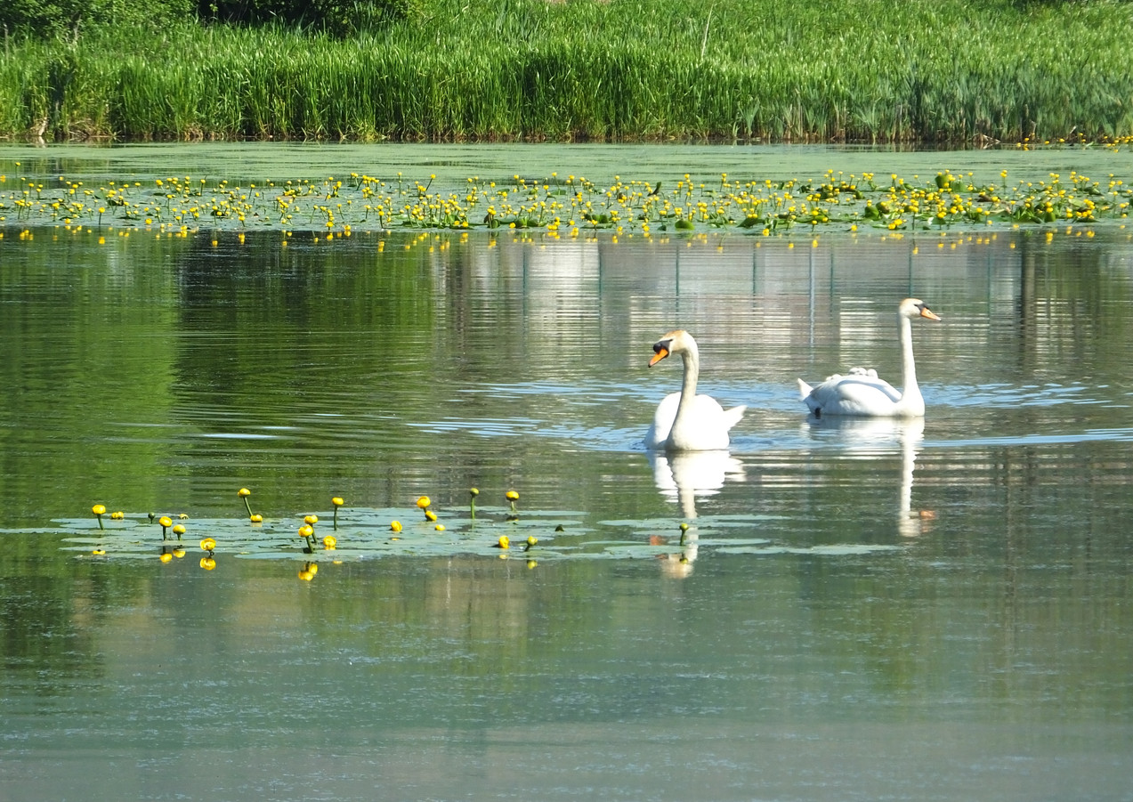 Swans at Bogside