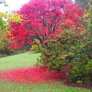 Maple in Colzium Oct 2020