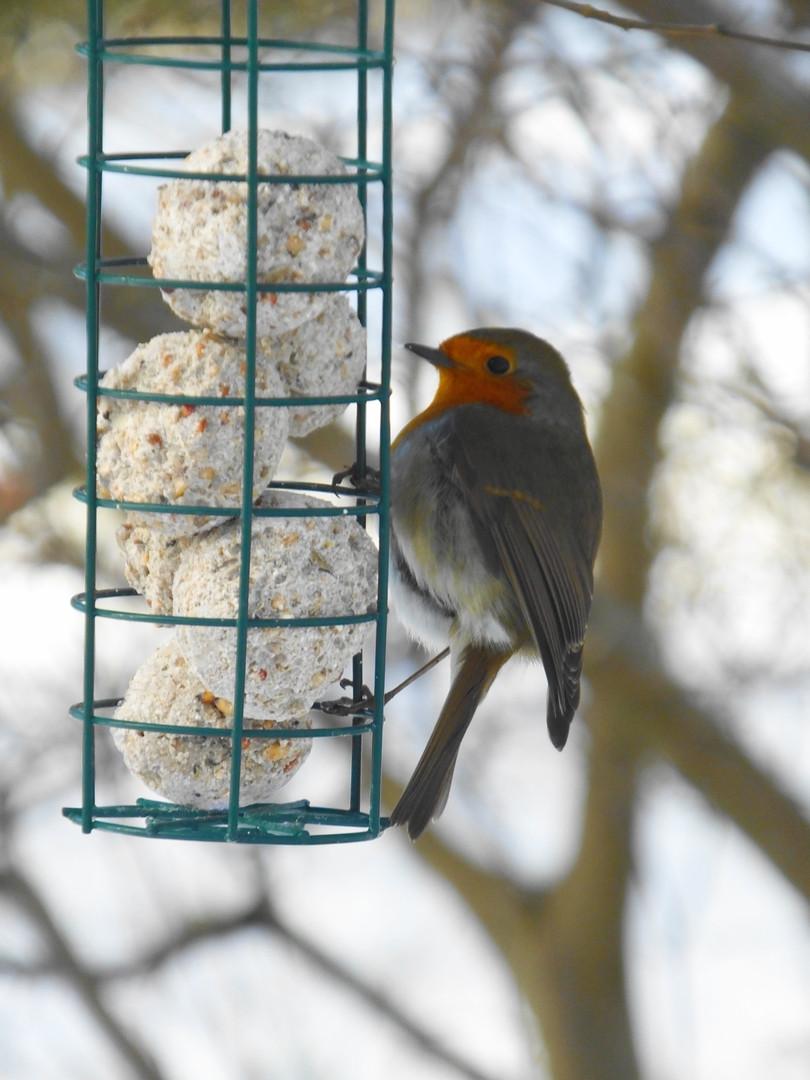 Little Robin feeding