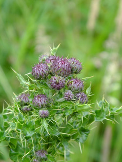 Young Thistle