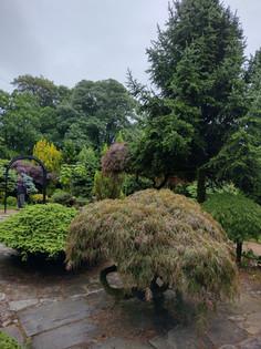 Acer in walled garden