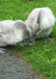 Two of the cygnets at Auchinstarry