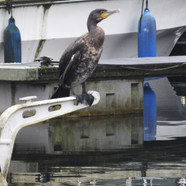 Cormorant on the Canal