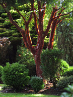 Red Bark Tree