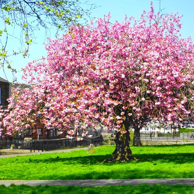 Blossom Tree in Burngreen