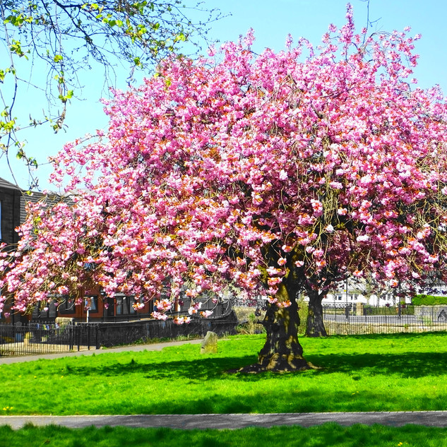Blossom Tree in Burngreen