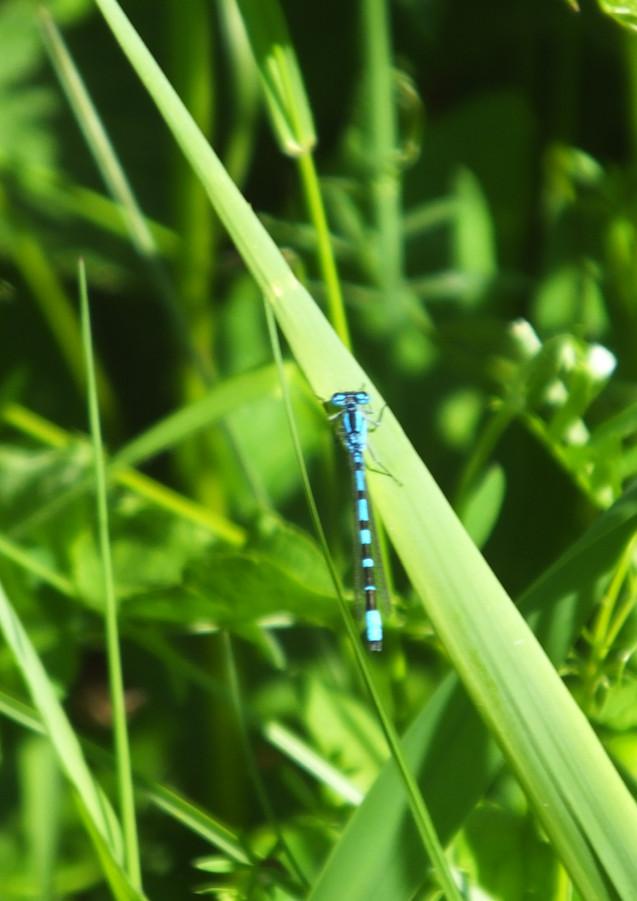 Dragonfly at Bogside